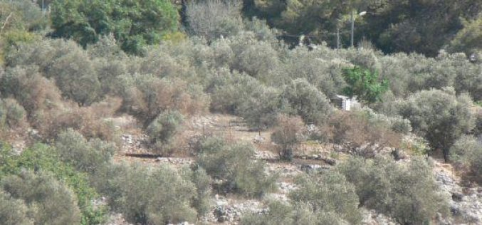 Israeli Setlers Damage trees using toxic chemicals in Burin Village