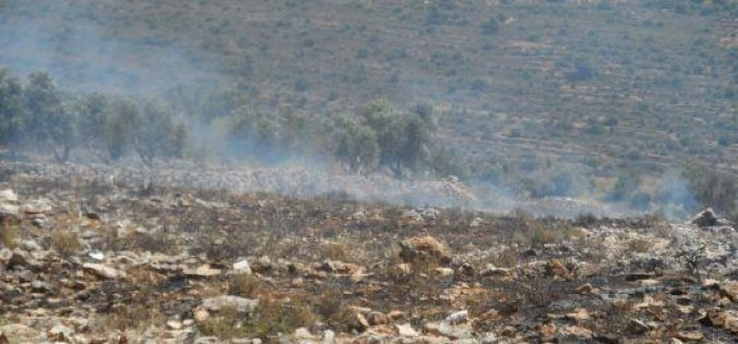 Setting 9 dunums of wheat fields and 2 dunums of olive groves ablaze