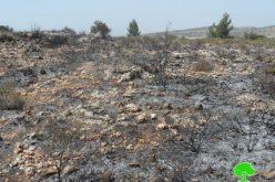 إحراق 590 شجرة زيتون في قرية بيتلّو / محافظة رام الله