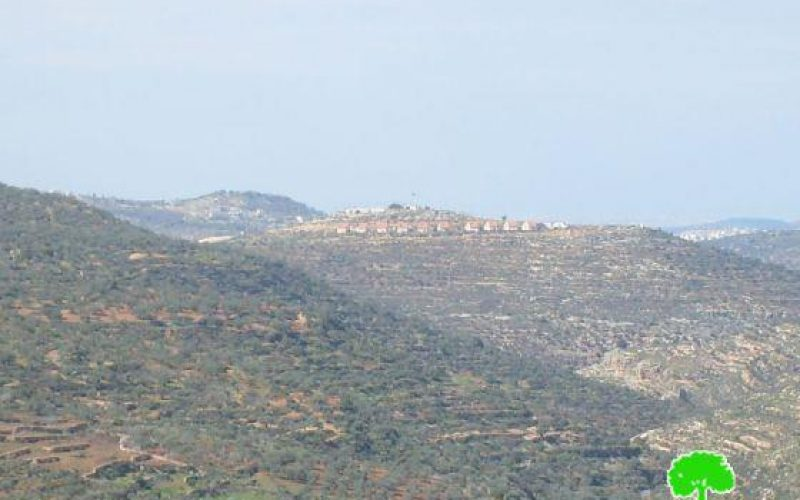 Damaging 700 Olive Trees in Nablus
