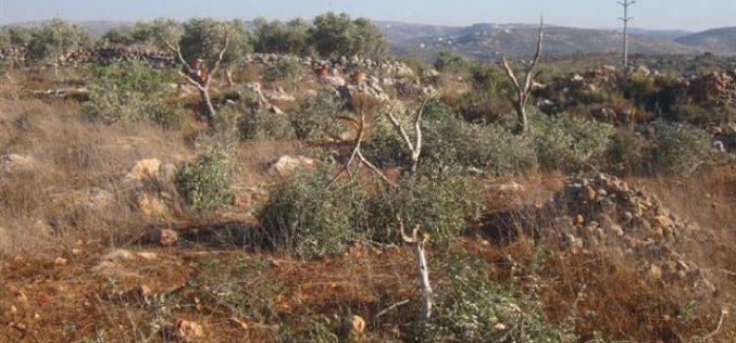 """مستعمرو """" يتسهار"""" يقطعون 15 شجرة زيتون في قرية بورين /محافظة نابلس"""