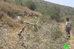 إتلاف 17 شجرة زيتون في بلدة حوارة / محافظة نابلس