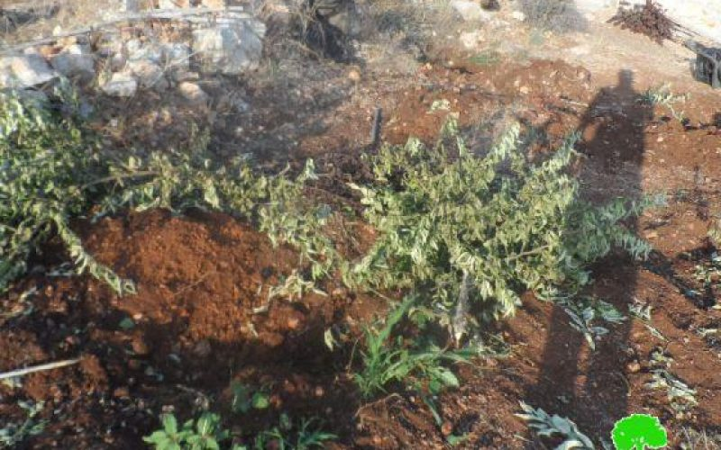 جيش الاحتلال يجرف 7 دونمات زراعية ويقتلع 210 غرسة  في قرية رأس عطية / محافظة قلقيلية