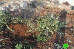 The Israeli army ravages 7 dunums of agricultural dunums and uproots 210 saplings in Ras 'Atiya- Qalqiliya