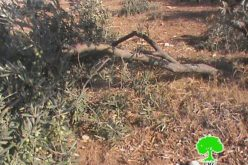 'Maon' colonists attack olive trees in Yatta