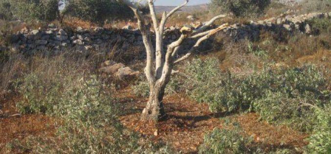 Destroying 19 olive saplings in Deir Sharaf- Nablus