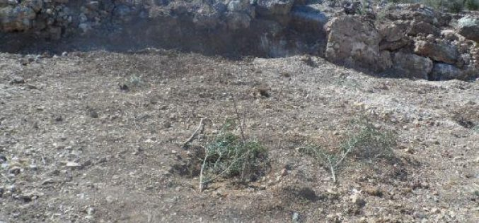 Colonists of Gilad Zohar destroy 95 olive seedlings and steal olives and agricultural tools in Qalqiliya