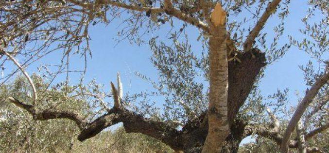 إتلاف 12 شجرة زيتون رومية في قرية رأس كركر / محافظة رام الله