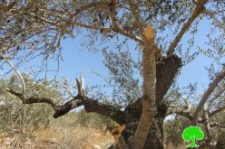 Destroying 12 olive trees in Ras Karkar