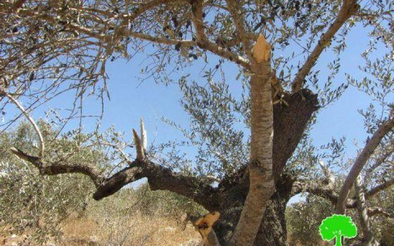 Destroying 12 olive trees in Ras Karkar