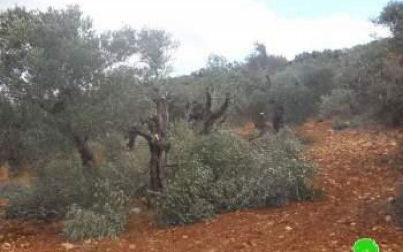 إتلاف 17 شجرة زيتون رومية في قرية ترمسعيا / محافظة رام الله