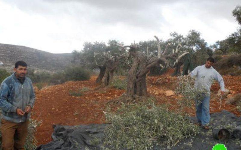 إتلاف 107 شجرة رومية في قرية قريوت /محافظة نابلس
