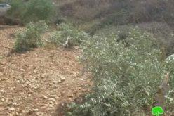 """مستعمرو مستعمرة """" يتسهار"""" يتلفون 11 شجرة زيتون في بلدة حواره / محافظة  نابلس"""