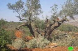 Yish Kodesh colonists destroy 27 olive saplings in Qusra