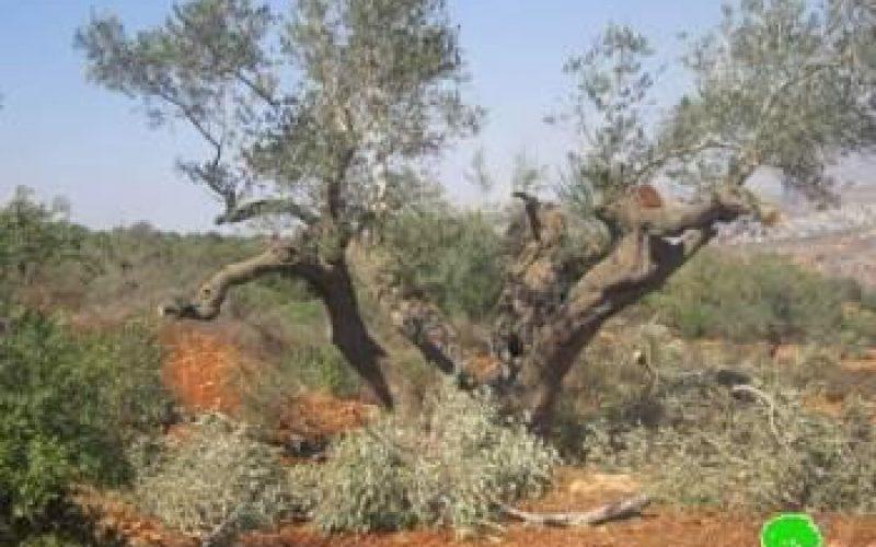 """مستعمرو مستعمرة """" يش كودش """" يتلفون 27 شجرة زيتون  في قرية قصرة  في محافظة نابلس"""