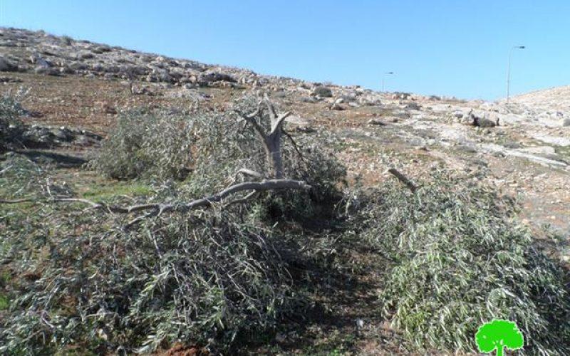 مستعمرون يقطعون 20 شجرة زيتون في  الشويهية