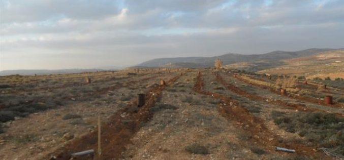 """مستعمرو """"شيلو"""" يتلفون 600 غرسة زيتون في بلدة سنجل / محافظة رام الله"""