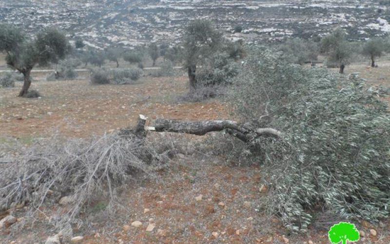 """مستعمرو """"ايتمار"""" يتلفون 71 شجرة زيتون معمرة في خربة اليانون / محافظة نابلس"""