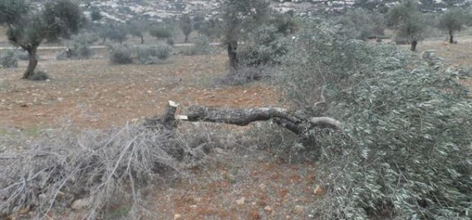 Colonists o f Itamar destroy 71 olive trees