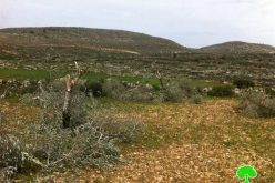 Me'ron colonists destroy 31 olive trees in Burqa Village