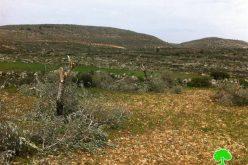"""مستعمرو """"ميغرون"""" يتلفون 31 شجرة زيتون في قرية برقة"""