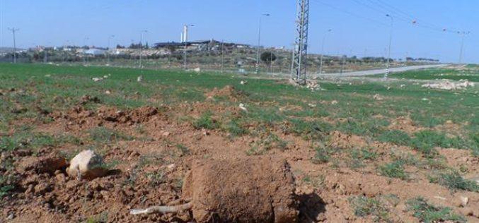 مستعمرون يقتلعون ( 70 ) شتلة زيتون من أراضي بلدة يطا