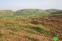 Destruction of Land Planted with Field Crops in Khirbet Ibziq- Tubas governorate