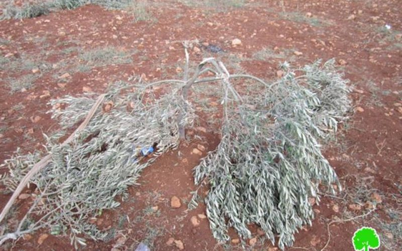 Kedumim colonists destroy 40 olive seedlings