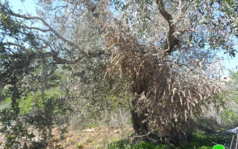 Damage of 55 olive trees after being intoxicated