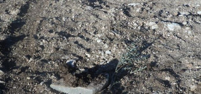 Destroying 1400 olive seedlings in Turmusayya