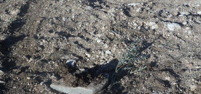 إتلاف 1400 غرسة زيتون في بلدة ترمسعيا في محافظة رام الله