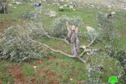 Destroying olive trees in Mukhmas in Mukhmas village- Jerusalem governorate