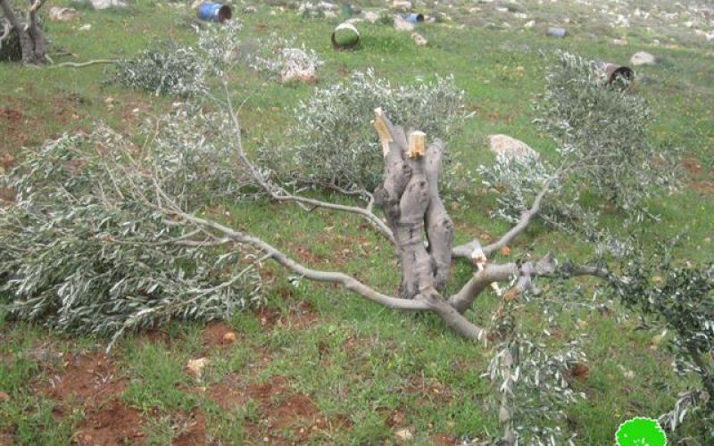 Destroying olive trees in Mukhmas in Mukhmas village- Jerusalem governorate