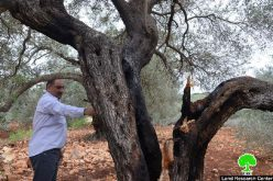 Fourteen trees totally burned down in Jeinsafout- Qalqilya governorate