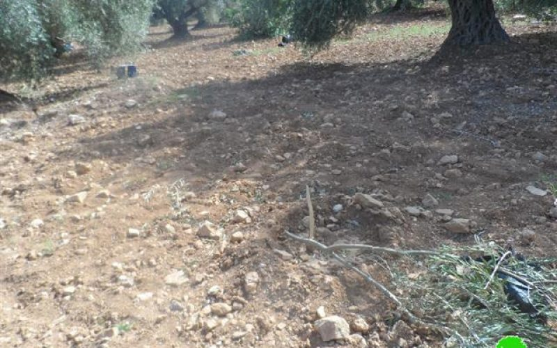 58 olive seedlings uprooted in Ras