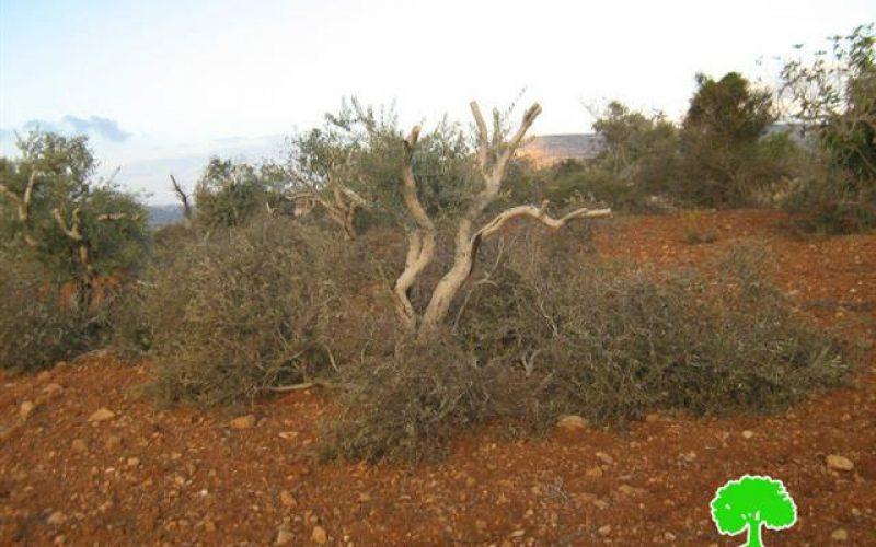 Colonists of Adi Ad destroy 17 olive trees in Al Mughayyir