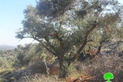 إتلاف 223 شجرة زيتون في بلدة حوارة / محافظة نابلس