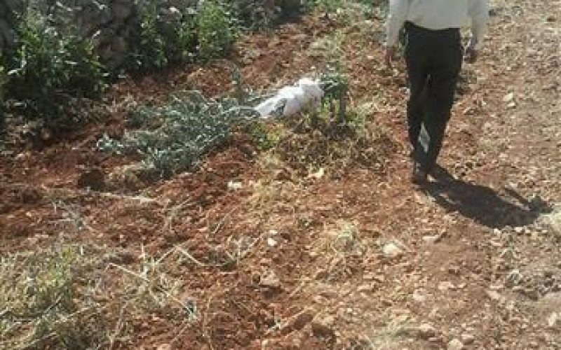 Talmon colonists destroy 21 olive seedlings in Ramallah