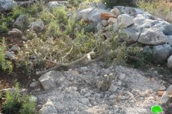 اقتلاع 250 غرسة زيتون في بلدة عرابة / محافظة جنين