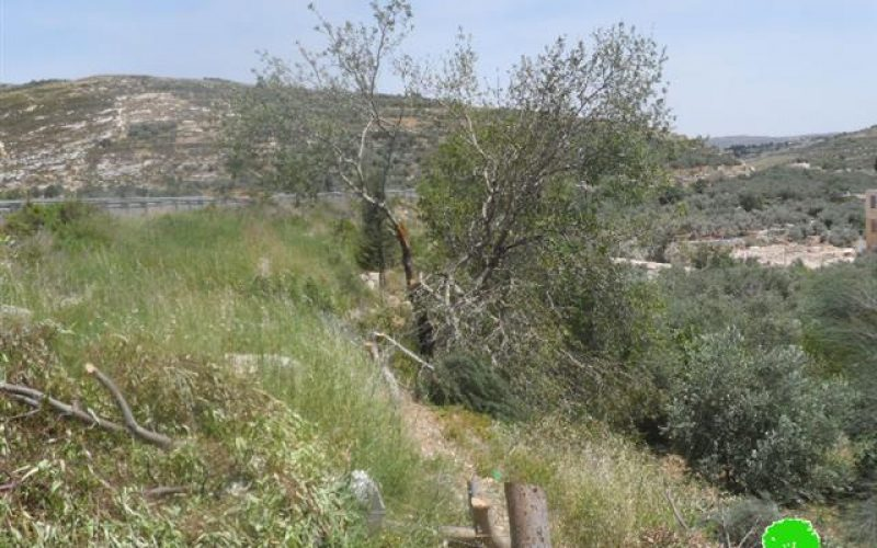 Cutting down 52 almond Trees and threatening to uproot another 1000 in Nablus