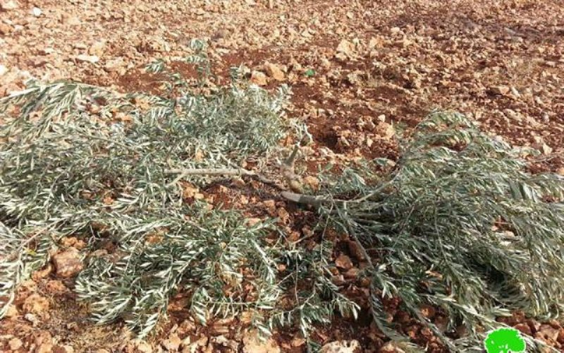 80 olive seedlings cut off by colonists in Kfar Qdoum