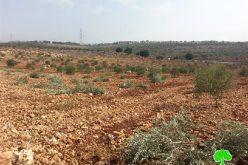 """مستعمرو مستعمرة """" كدوميم"""" يتلفون 80 غرسه زيتون في قرية كفر قدوم"""