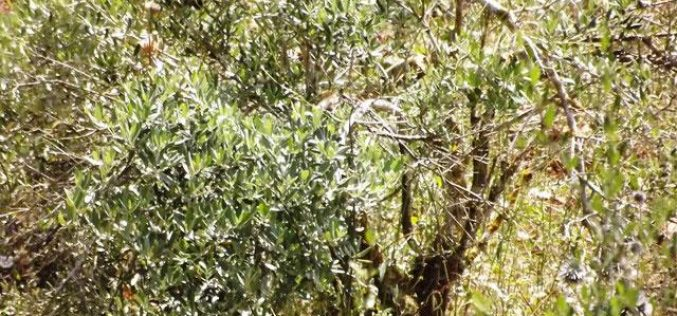 Colonists of Shaked destroy 14 olive trees