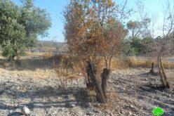 إحراق أشجار من اللوز في قرية الناقورة في محافظة نابلس