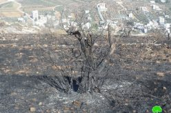 Setting Fire to Scores of Olive Trees in Huwara