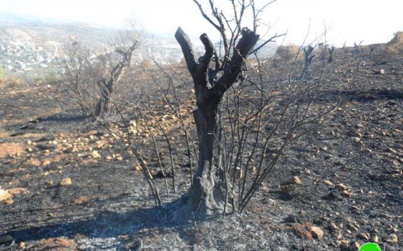 """مستعمرو """" يتسهار"""" يحرقون العشرات من أشجار الزيتون في بلدة حوارة"""