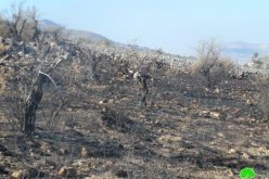 Burning Down Tens of Olive Trees in Ainabos