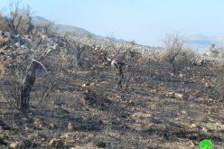 إحراق العشرات من أشجار الزيتون في قرية عينابوس جنوب نابلس