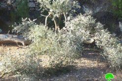 المستعمرون يقطعون 50 شجرة مثمرة في قرية الجبعة في محافظة بيت لحم