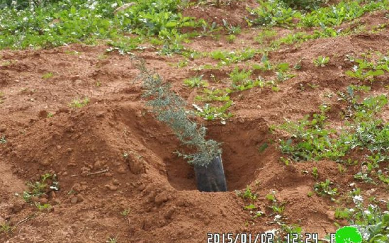 Banning olive trees cultivation in Tubas